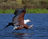 """This photograph of a incoming African Fish Eagle was captured in Kenya, Africa (2/12).   <FONT COLOR=""""RED""""><h5>This photograph is protected by the U.S. Copyright Laws and shall not to be downloaded or reproduced by any means without the formal written permission of Ken Conger Photography.<FONT COLOR=""""RED""""></h5>"""
