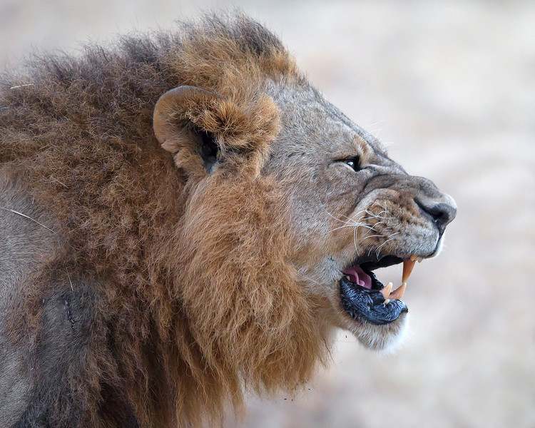 This growling male Lion photograph was captured in Kenya, Africa (2/12).   This photograph is protected by the U.S. Copyright Laws and shall not to be downloaded or reproduced by any means without the formal written permission of Ken Conger Photography.