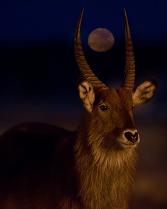 This photograph of a Waterbuck while the moon was rising between his horns, was captured in Kenya, Africa (2/12).  Photographed at night at a very high ISO (3200) and low shutter speed (1/60th), at a waterhole. I was pleasantly surprised by the results.   This photograph is protected by the U.S. Copyright Laws and shall not to be downloaded or reproduced by any means without the formal written permission of Ken Conger Photography.