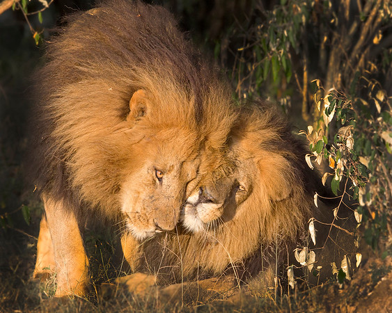 This photograph of two male Lions was captured within the Maasai Mara in Kenya, Africa (3/13).   This photograph is protected by the U.S. Copyright Laws and shall not to be downloaded or reproduced by any means without the formal written permission of Ken Conger Photography.