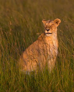 This female Lion photograph was captured within the Maasai Mara in Kenya, Africa (3/13).   This photograph is protected by the U.S. Copyright Laws and shall not to be downloaded or reproduced by any means without the formal written permission of Ken Conger Photography.