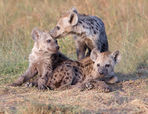 This photograph of Spotted Hyena pups was captured within the Maasai Mara in Kenya, Africa (3/13).   This photograph is protected by the U.S. Copyright Laws and shall not to be downloaded or reproduced by any means without the formal written permission of Ken Conger Photography.