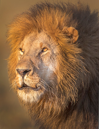 This male Lion photograph was captured within the Maasai Mara in Kenya, Africa (3/13).   This photograph is protected by the U.S. Copyright Laws and shall not to be downloaded or reproduced by any means without the formal written permission of Ken Conger Photography.