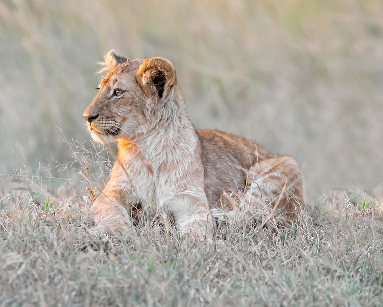 This sunset Lion cub photograph was captured within the Maasai Mara in Kenya, Africa (3/13).   This photograph is protected by the U.S. Copyright Laws and shall not to be downloaded or reproduced by any means without the formal written permission of Ken Conger Photography.