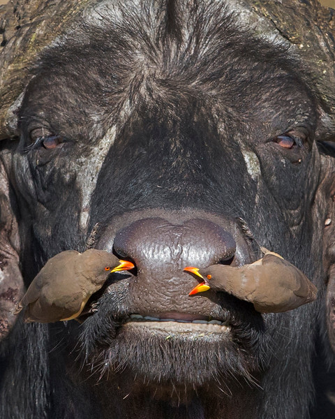 This photograph of a Cape Buffalo with two Red-billed Oxpeckers on his snout was captured within Samburu National Reserve in Kenya, Africa (3/13).   This photograph is protected by the U.S. Copyright Laws and shall not to be downloaded or reproduced by any means without the formal written permission of Ken Conger Photography.