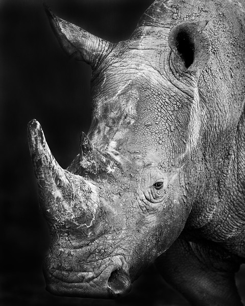 This sunset photograph of two White Rhinos was captured within Ol Pejeta Conservancy Park in Kenya, Africa (3/13).   This photograph is protected by the U.S. Copyright Laws and shall not to be downloaded or reproduced by any means without the formal written permission of Ken Conger Photography.