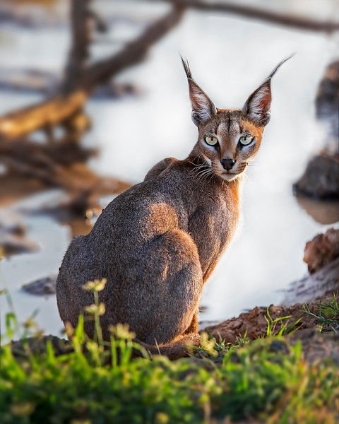 This photograph of a Caracal was captured within Samburu National Reserve in Kenya, Africa (3/13).   This photograph is protected by the U.S. Copyright Laws and shall not to be downloaded or reproduced by any means without the formal written permission of Ken Conger Photography.