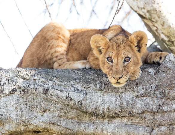 This Lion cub photograph was captured within the Maasai Mara in Kenya, Africa (3/13).   This photograph is protected by the U.S. Copyright Laws and shall not to be downloaded or reproduced by any means without the formal written permission of Ken Conger Photography.