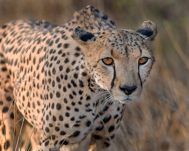 This photograph of a Cheetah was captured within the Maasai Mara in Kenya, Africa (3/13).   This photograph is protected by the U.S. Copyright Laws and shall not to be downloaded or reproduced by any means without the formal written permission of Ken Conger Photography.