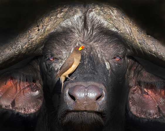 This photograph of a Cape Buffalo with a Red-billed Oxpecker on his snout was captured within Samburu National Reserve in Kenya, Africa (3/13).   This photograph is protected by the U.S. Copyright Laws and shall not to be downloaded or reproduced by any means without the formal written permission of Ken Conger Photography.
