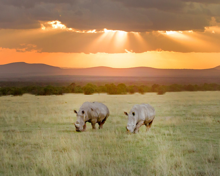 This sunset photograph of two White Rhinos was captured within Ol Pejeta Conservancy Park in Kenya, Africa (2/14).   This photograph is protected by the U.S. Copyright Laws and shall not to be downloaded or reproduced by any means without the formal written permission of Ken Conger Photography.