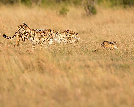 This photograph of two Cheetahs chasing a Black-backed Jackal was captured within the Maasai Mara in Kenya, Africa (3/13).   This photograph is protected by the U.S. Copyright Laws and shall not to be downloaded or reproduced by any means without the formal written permission of Ken Conger Photography.