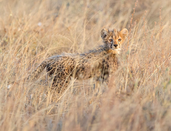 This Cheetah cub photograph was captured within the Maasai Mara in Kenya, Africa (3/13).   This photograph is protected by the U.S. Copyright Laws and shall not to be downloaded or reproduced by any means without the formal written permission of Ken Conger Photography.