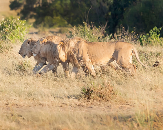 Maasai Mara Lion Coalition