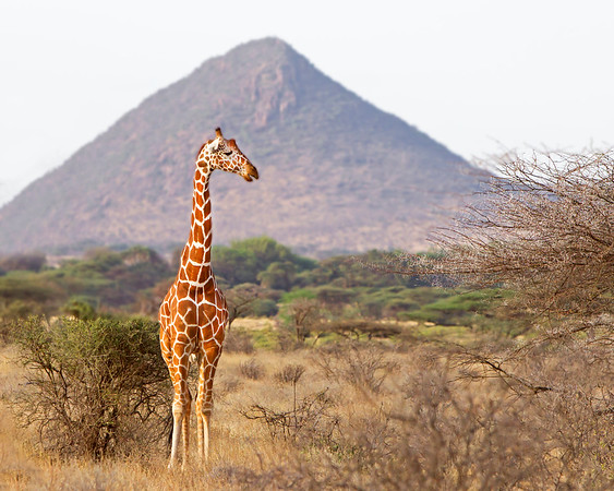 This photograph of a Reticulated Giraffe at the foothill of the mountain was captured within Samburu National Reserve in Kenya, Africa (3/13).   This photograph is protected by the U.S. Copyright Laws and shall not to be downloaded or reproduced by any means without the formal written permission of Ken Conger Photography.