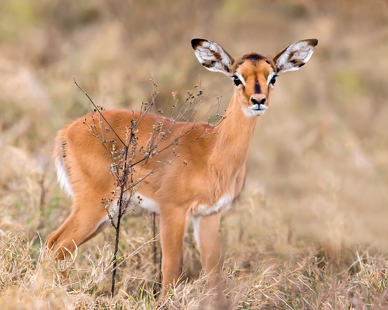 This photograph of a Impala fawn was captured within Lake Nakuru National Park in Kenya, Africa (3/13).   This photograph is protected by the U.S. Copyright Laws and shall not to be downloaded or reproduced by any means without the formal written permission of Ken Conger Photography.