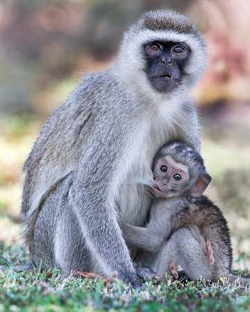 This photograph of a Black Faced Vervet Monkey mother and baby was captured within Lake Nakuru National Park in Kenya, Africa (3/13).   This photograph is protected by the U.S. Copyright Laws and shall not to be downloaded or reproduced by any means without the formal written permission of Ken Conger Photography.