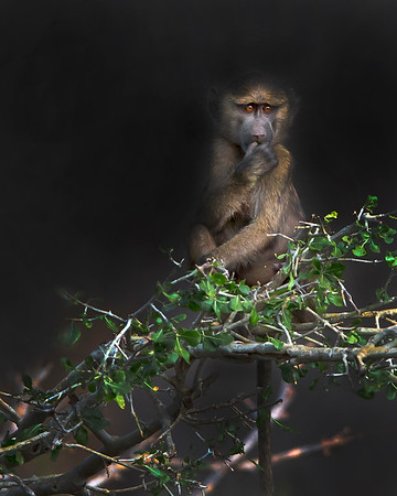 This photograph of a young Baboon was captured within Samburu National Park in Kenya, Africa (3/13).   This photograph is protected by the U.S. Copyright Laws and shall not to be downloaded or reproduced by any means without the formal written permission of Ken Conger Photography.