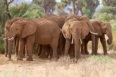 This photograph of a group of Elephants was captured within Samburu National Park in Kenya, Africa (3/13).   This photograph is protected by the U.S. Copyright Laws and shall not to be downloaded or reproduced by any means without the formal written permission of Ken Conger Photography.