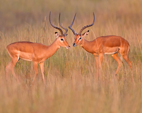 This photograph of a pair of male Impalas in first morning light was captured within the Maasai Mara in Kenya, Africa (3/13).   This photograph is protected by the U.S. Copyright Laws and shall not to be downloaded or reproduced by any means without the formal written permission of Ken Conger Photography.