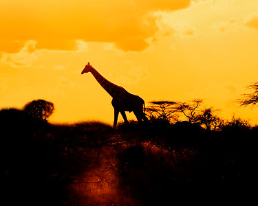 This sunset photograph of a Reticulated Giraffe was captured within Samburu National Reserve in Kenya, Africa (3/13).   This photograph is protected by the U.S. Copyright Laws and shall not to be downloaded or reproduced by any means without the formal written permission of Ken Conger Photography.
