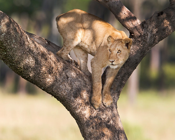 This photograph of an female Lion in a tree was captured within the Maasai Mara in Kenya, Africa (3/13).   This photograph is protected by the U.S. Copyright Laws and shall not to be downloaded or reproduced by any means without the formal written permission of Ken Conger Photography.