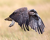 """This photograph of a flying Martial Eagle was captured within the Masai Mara in Kenya, Africa (6/13).   <FONT COLOR=""""RED""""><h5>This photograph is protected by the U.S. Copyright Laws and shall not to be downloaded or reproduced by any means without the formal written permission of Ken Conger Photography.<FONT COLOR=""""RED""""></h5>"""
