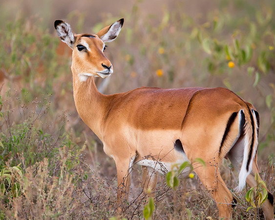This photograph of a female Impala was captured within Lake Nakuru National Park in Kenya, Africa (3/13).   This photograph is protected by the U.S. Copyright Laws and shall not to be downloaded or reproduced by any means without the formal written permission of Ken Conger Photography.