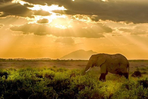 This sunset photograph of an Elephant with Mount Kilimanjaro in the background was captured within Amboseli National Park in Kenya, Africa (3/13).   This photograph is protected by the U.S. Copyright Laws and shall not to be downloaded or reproduced by any means without the formal written permission of Ken Conger Photography.