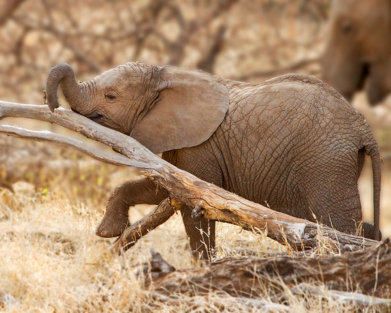 This photograph of a young Elephant was captured within Samburu National Park in Kenya, Africa (3/13).   This photograph is protected by the U.S. Copyright Laws and shall not to be downloaded or reproduced by any means without the formal written permission of Ken Conger Photography.