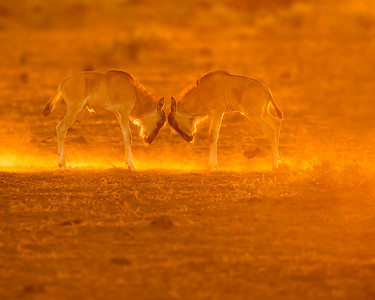 This dusty sunrise photograph of two young Wildebeest play fighting was captured within Amboseli National Park in Kenya, Africa (3/13).   This photograph is protected by the U.S. Copyright Laws and shall not to be downloaded or reproduced by any means without the formal written permission of Ken Conger Photography.