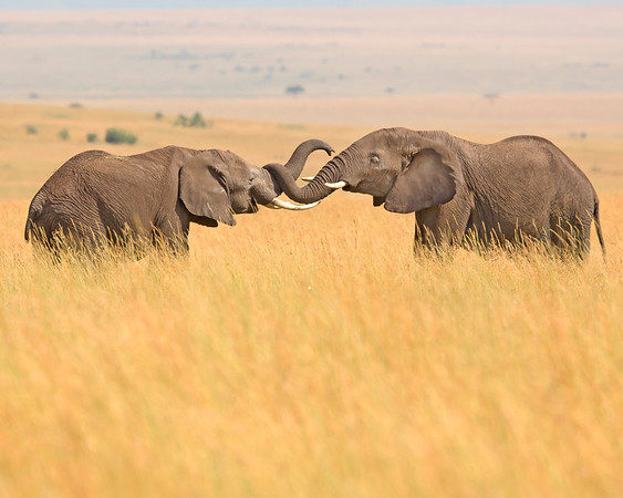 This photograph of a pair of sparring Elephants was captured within the Maasai Mara in Kenya, Africa (3/13).   This photograph is protected by the U.S. Copyright Laws and shall not to be downloaded or reproduced by any means without the formal written permission of Ken Conger Photography.