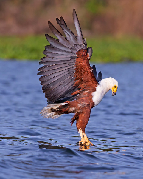 This photograph of an African Fish Eagle was captured within Lake Naivasha in Kenya, Africa (3/13).   This photograph is protected by the U.S. Copyright Laws and shall not to be downloaded or reproduced by any means without the formal written permission of Ken Conger Photography.