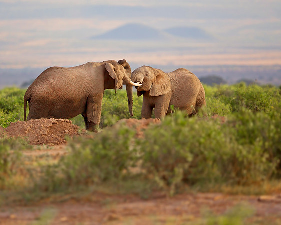 This photograph of Elephants sparring with Mount Kilimanjaro in the background was captured within Amboseli National Park in Kenya, Africa (3/13).   This photograph is protected by the U.S. Copyright Laws and shall not to be downloaded or reproduced by any means without the formal written permission of Ken Conger Photography.