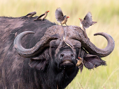 This photograph of a Cape Buffalo with confrontational Red-billed Oxpeckers on him was captured within the Maasai Mara in Kenya, Africa (3/13).   This photograph is protected by the U.S. Copyright Laws and shall not to be downloaded or reproduced by any means without the formal written permission of Ken Conger Photography.
