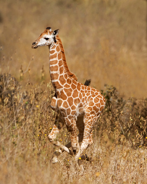 This photograph of running Rothschild Giraffe calf was captured within Lake Nakuru National Park in Kenya, Africa (3/13).   This photograph is protected by the U.S. Copyright Laws and shall not to be downloaded or reproduced by any means without the formal written permission of Ken Conger Photography.