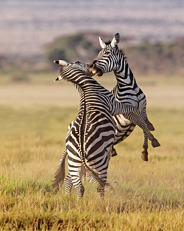 This photograph of a pair of Zebras in a confrontation was captured within Amobseli National Park in Kenya, Africa (3/13).   This photograph is protected by the U.S. Copyright Laws and shall not to be downloaded or reproduced by any means without the formal written permission of Ken Conger Photography.
