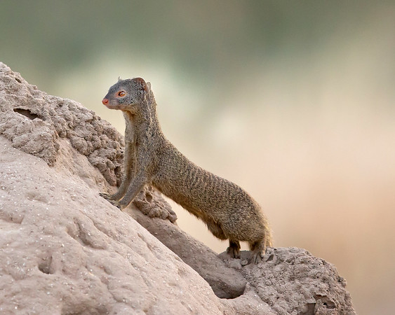 This photograph of a Banded Mongoose was captured within Samburu National Park in Kenya, Africa (3/13).   This photograph is protected by the U.S. Copyright Laws and shall not to be downloaded or reproduced by any means without the formal written permission of Ken Conger Photography.