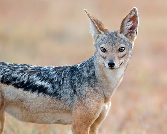 This photograph of a Black-backed Jackal was captured within Lake Nakuru National Park in Kenya, Africa (3/13).   This photograph is protected by the U.S. Copyright Laws and shall not to be downloaded or reproduced by any means without the formal written permission of Ken Conger Photography.