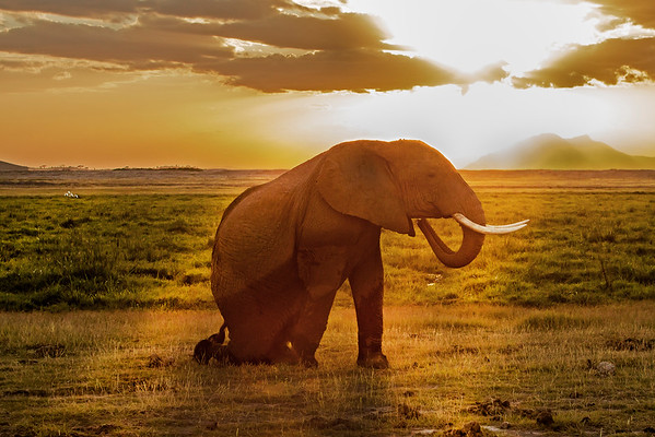This sunset photograph of an Elephant appearing to pay homage to Mount Kilimanjaro in the background was captured within Amboseli National Park in Kenya, Africa (3/13).   This photograph is protected by the U.S. Copyright Laws and shall not to be downloaded or reproduced by any means without the formal written permission of Ken Conger Photography.