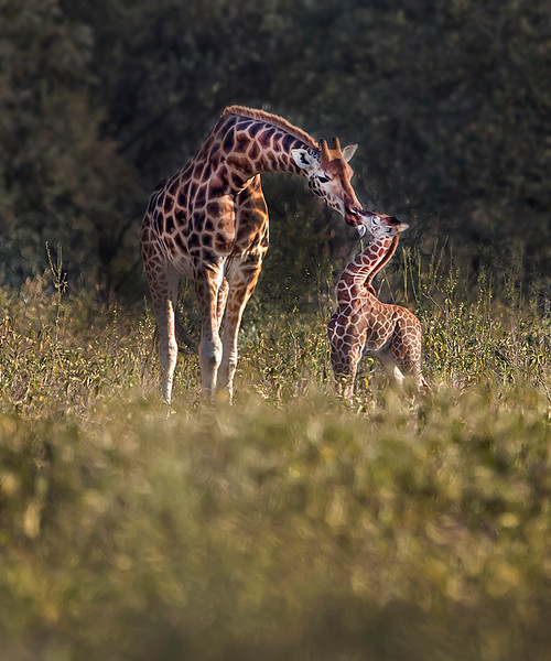 This photograph of an intimate moment between a mother Rothschild Giraffe and her calf was captured within Lake Nakuru National Park in Kenya, Africa (3/13).   This photograph is protected by the U.S. Copyright Laws and shall not to be downloaded or reproduced by any means without the formal written permission of Ken Conger Photography.