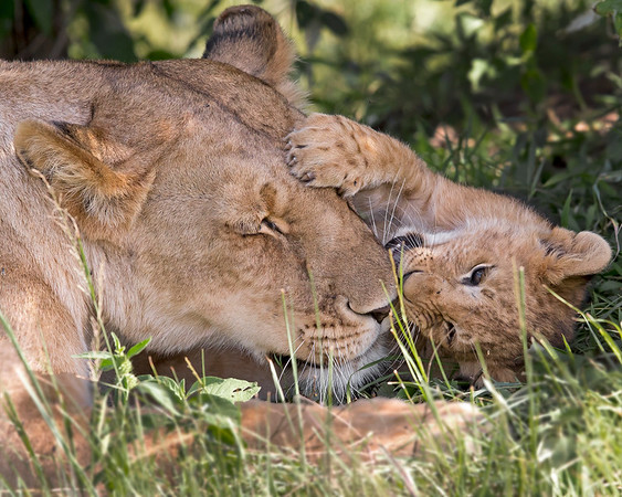 This photograph of an female Lion and her playful cub was captured within the Maasai Mara in Kenya, Africa (3/13).   This photograph is protected by the U.S. Copyright Laws and shall not to be downloaded or reproduced by any means without the formal written permission of Ken Conger Photography.