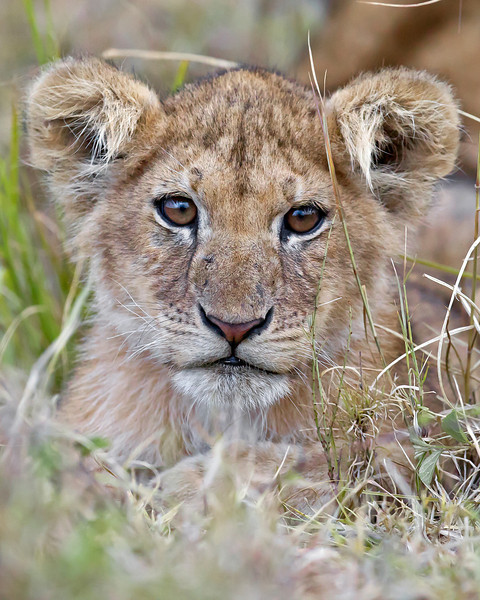 This photograph of a Lion cub was captured in Kenya, Africa (3/11).       This photograph is protected by the U.S. Copyright Laws and shall not to be downloaded or reproduced by any means without the formal written permission of Ken Conger Photography.