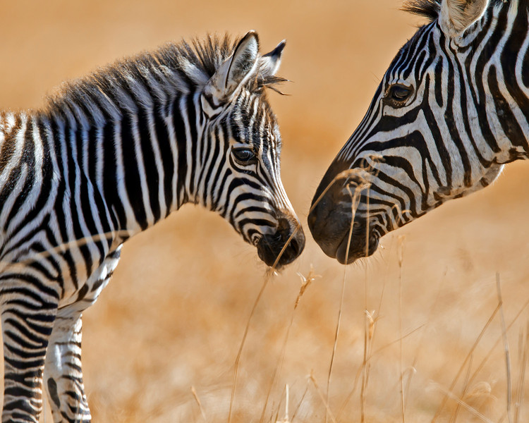 This photograph of a female and recently born Zebra interacting was captured in Kenya, Africa (3/11).       This photograph is protected by the U.S. Copyright Laws and shall not to be downloaded or reproduced by any means without the formal written permission of Ken Conger Photography.