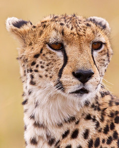 This photograph of a Cheetah was captured in Kenya, Africa (3/11).       This photograph is protected by the U.S. Copyright Laws and shall not to be downloaded or reproduced by any means without the formal written permission of Ken Conger Photography.