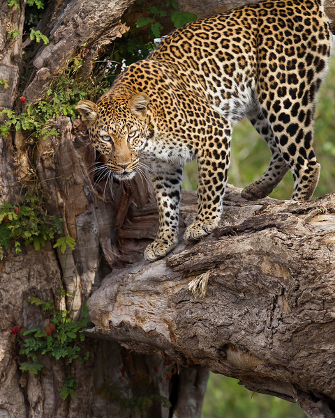 This photograph of a Leopard was captured in Kenya, Africa (3/11).       This photograph is protected by the U.S. Copyright Laws and shall not to be downloaded or reproduced by any means without the formal written permission of Ken Conger Photography.