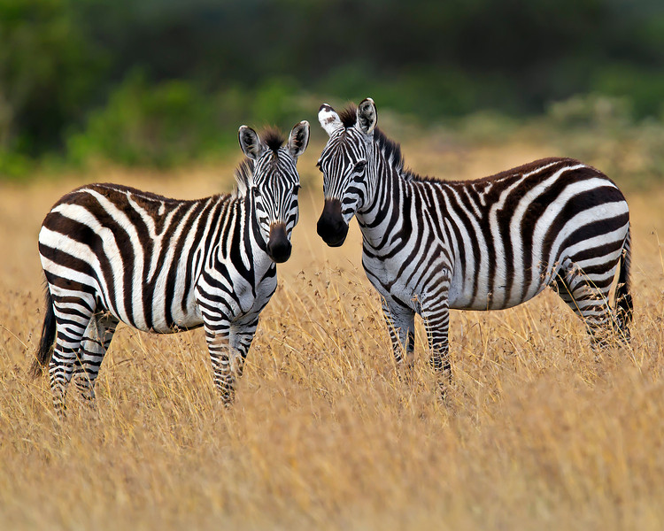This photograph of two Zebras was captured in Kenya, Africa (3/11).       This photograph is protected by the U.S. Copyright Laws and shall not to be downloaded or reproduced by any means without the formal written permission of Ken Conger Photography.