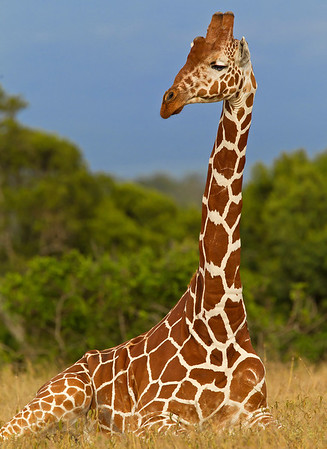 This photograph of a Giraffe was captured in Kenya, Africa (3/11).     This photograph is protected by the U.S. Copyright Laws and shall not to be downloaded or reproduced by any means without the formal written permission of Ken Conger Photography.