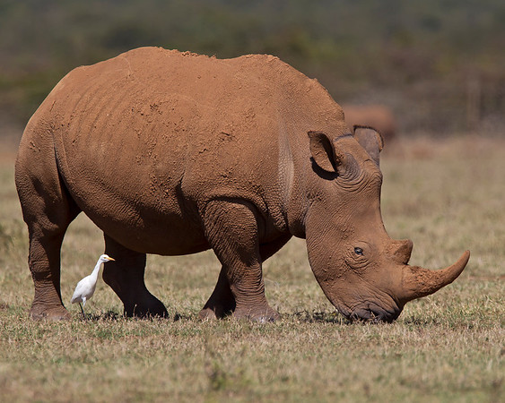 This photograph of a White Rhinoceros was captured in Kenya, Africa (3/11).       This photograph is protected by the U.S. Copyright Laws and shall not to be downloaded or reproduced by any means without the formal written permission of Ken Conger Photography.