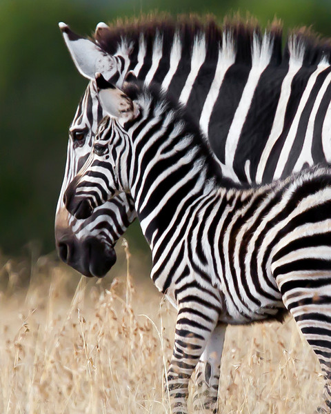 This photograph of a female and recently born Zebra was captured in Kenya, Africa (3/11).       This photograph is protected by the U.S. Copyright Laws and shall not to be downloaded or reproduced by any means without the formal written permission of Ken Conger Photography.